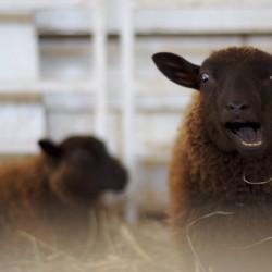 Луди овчари