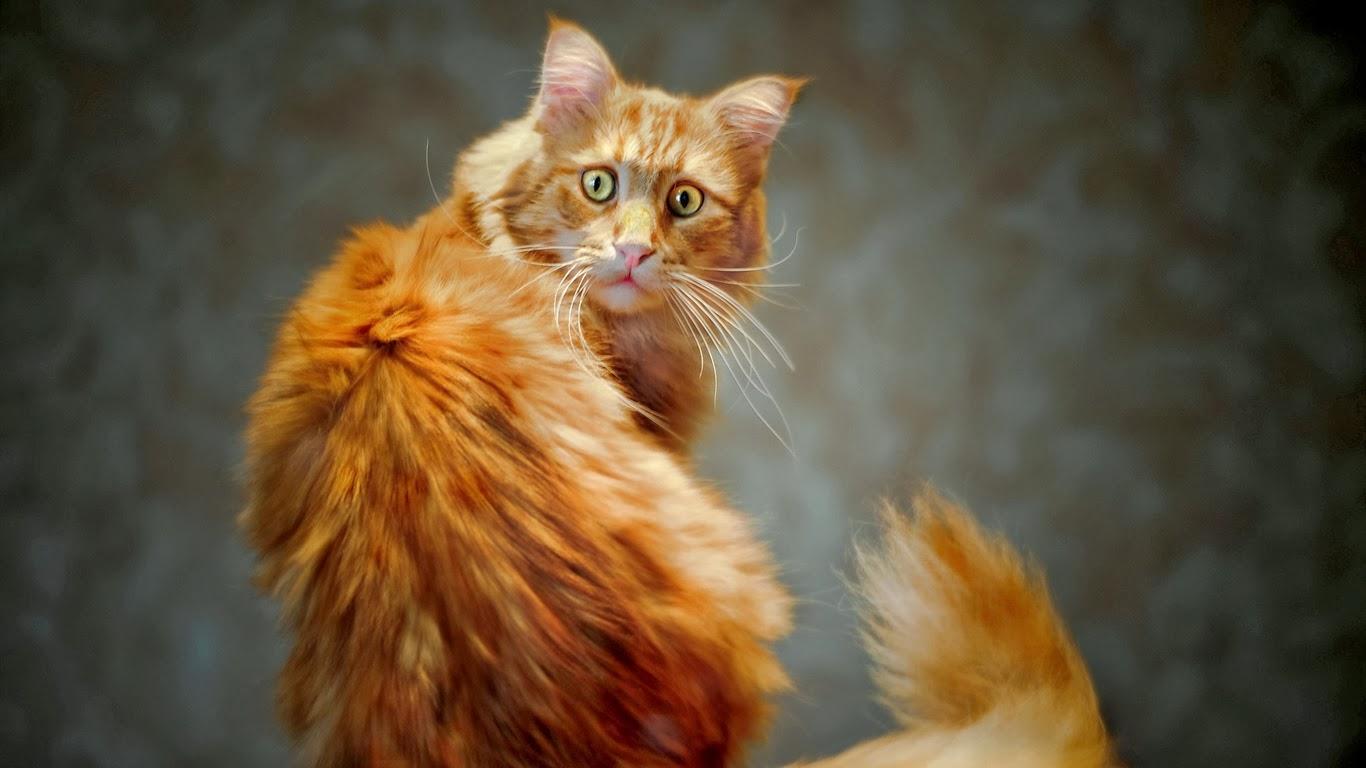 gatto-coda
