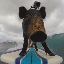 Вижте Кама – сърфиращото прасе